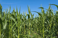Corn Maize field with clouds Stock Images