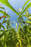 Corn or maize field growing on in rays of sun Stock Photo