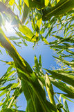 Corn or maize field growing on in rays of sun Royalty Free Stock Images
