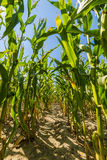 Corn or maize field growing up on blue sky Royalty Free Stock Photo