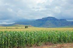 Corn (maize) field Stock Photo