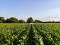Corn Maize Field Lines Stock Photos