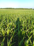 Corn Maize Field and my shadow Royalty Free Stock Photo