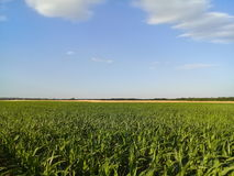 Corn Maize Field with Wheat Field background Royalty Free Stock Photos