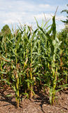 Corn or maize grown for ethanol production Stock Photos
