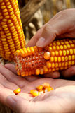 Corn - maize on the hand Royalty Free Stock Image
