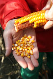 Corn - maize on the hand. Farmer inspecting maize corncob on the field with hands Stock Photo