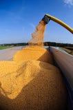 Corn (maize) harvest stock images