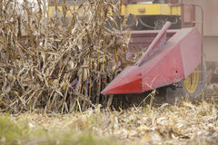 Corn maize harvest time Stock Photography