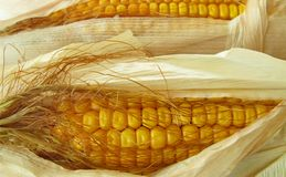 Corn maize kernels Royalty Free Stock Photo