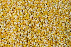Corn Maize seeds Royalty Free Stock Image