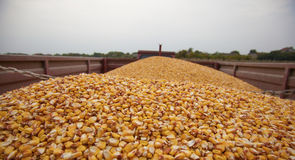Corn maize seeds. In tractor trailer ready for transport to silo Stock Image
