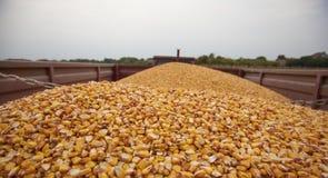 Corn maize seeds stock image