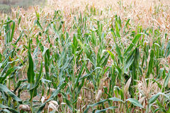 Corn maize Stock Photo