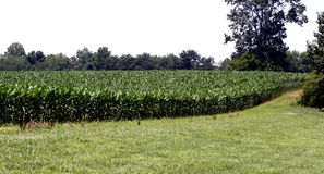 Corn Maze. This field of corn in East Tennessee is grown for feed, but the plants themselves make a beautiful landscape Royalty Free Stock Photo