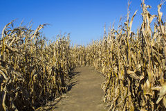 Corn Maze. On a bright sunny fall day Royalty Free Stock Image