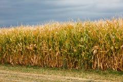 Corn maze Stock Photography