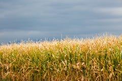 Corn maze Royalty Free Stock Photo