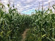 Corn maze royalty free stock images