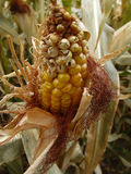 Corn Maze Material royalty free stock images