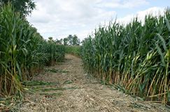 Corn Maze Path. Entrance into field of corn that has been cut into the recreational adventure of a maze royalty free stock photos