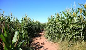 Corn Maze Path. Corn maze attraction at the farm Stock Photo