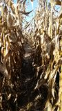 Corn maze. Plants Stock Photo
