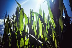 Corn maze at sunset. Walk right in. royalty free stock photo
