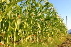 Corn During Mid Term Growth Stock Image