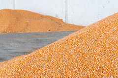 Corn after milling and harvest. Royalty Free Stock Image