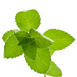 Corn Mint isolated Stock Images