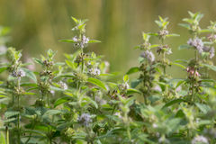 Corn mint (Mentha arvensis) in flower Stock Images