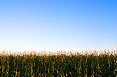 Corn and the Moon Stock Photography