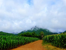 Corn on the mountain. At kanjanaburi Royalty Free Stock Photography