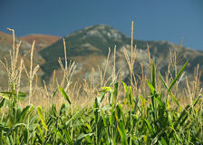 Corn mountains. Tops of corn plants in a cornfield with mountains in background Stock Photography