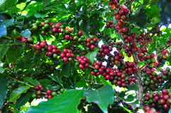 Coffee production in Brazil Stock Photography