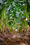 Corn path. Different point for view the corn production Royalty Free Stock Photos