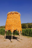 Corn. Photograph at corn farm in the Thailand Royalty Free Stock Photography