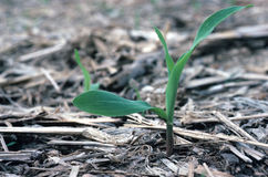 Corn Plant Stock Photos