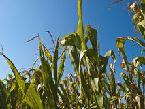 Corn Plant Royalty Free Stock Image