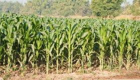 Corn plant. Stock Photography