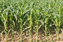 Corn plant. Stock Photo