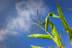 Corn plant with blue sky background. Green corn plant with blue sky background in summer time Stock Photography
