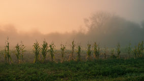 Corn plant on the edge of the field Royalty Free Stock Photos