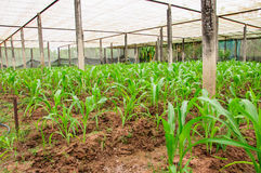 Corn plant in farm of thailand Stock Photos