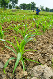Corn plant and farmer working in farm Stock Images
