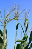 Corn plant Stock Photography