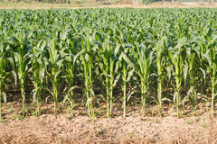 Corn plant. Royalty Free Stock Image