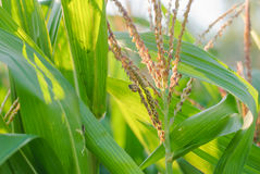 Corn plant and flower Stock Photo