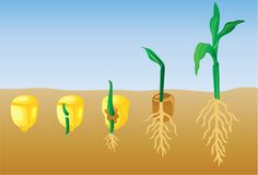 Corn Plant Germination Vector Illustration Stock Photos